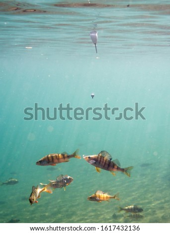 School of european perch trying to catch angling bait with a hook hanging from a float on water surface. Underwater shot. #1617432136