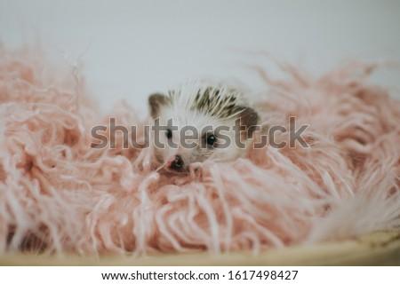 Cute tiny hedgehog being adorable  #1617498427
