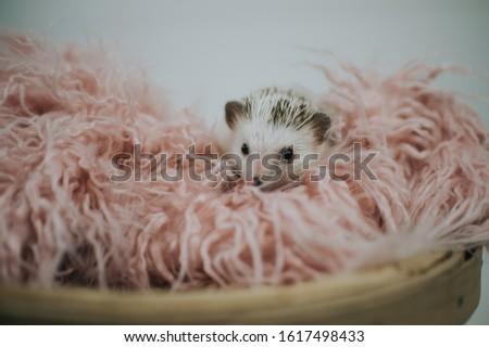 Cute tiny hedgehog being adorable  #1617498433