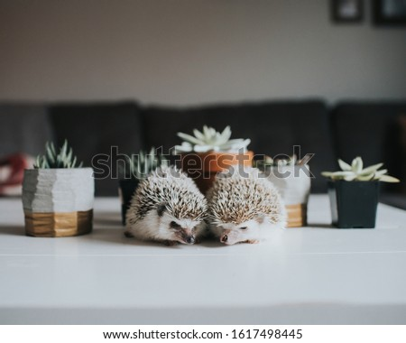 Cute tiny hedgehog being adorable  #1617498445