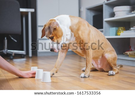 Dog playing the shell game with her human. Concept of training pets, domestic dogs being smart and educated #1617533356