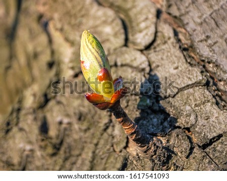 The sprout and buds of a chestnut tree bloom in the park on a spring day, . Background of rough bark. Springtime flowering in nature. #1617541093