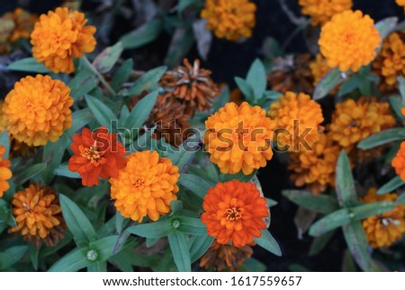 Marigolds (Tagetes erecta, Mexican marigold, Aztec marigold, African marigold) #1617559657