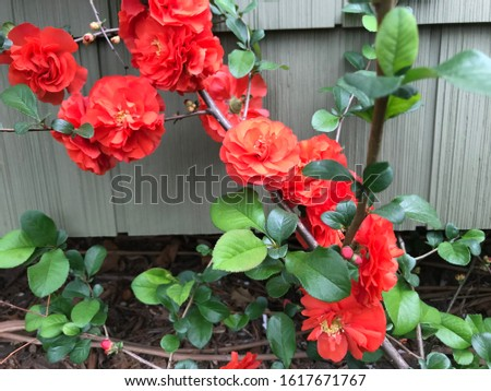 Colorful flowering quince plant in the garden. #1617671767