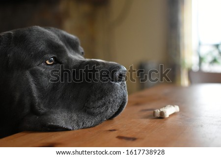 Learning patience and self control: Cane Corso dog looking past biscuit on dining room kitchen table, obedience training and waiting for treats. Royalty-Free Stock Photo #1617738928