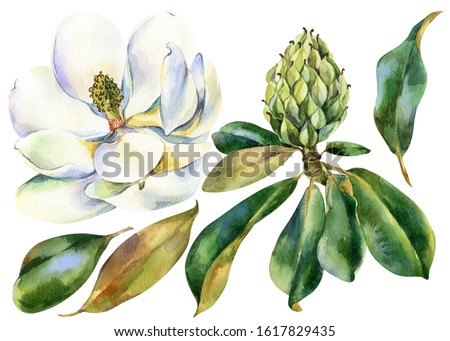 Watercolor flower, branch of white magnolia with green leaves, bud of magnolia, hand drawn illustration. Stock illustration for design, wedding invitations, greeting cards, postcards.