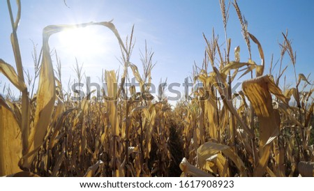 Steady walk along path between rows of fresh maize, corn or mealie plants growing in an agricultural field #1617908923