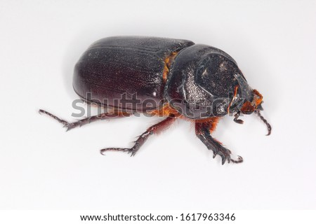 Coconut rhinoceros beetle, Indian rhinoceros beetle, Asian rhinoceros beetle (Oryctes rhinoceros) on bright background. Beetle carcass for entomology workshop. #1617963346