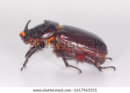 Coconut rhinoceros beetle, Indian rhinoceros beetle, Asian rhinoceros beetle (Oryctes rhinoceros) on bright background. Beetle carcass for entomology workshop. #1617963355
