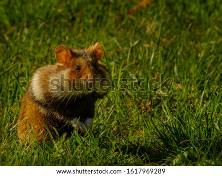 A alert upright european field hamster with big chubby cheeks. #1617969289