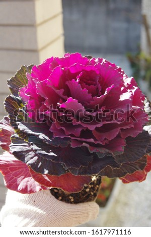 Flowering kale, Ornamental cabbage, Ornamental kale  #1617971116