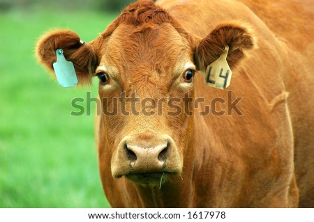 head shot of brown cow with tow ear tags #1617978