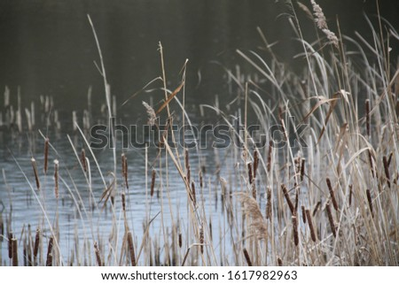 Reed bed and lake forest during winter #1617982963