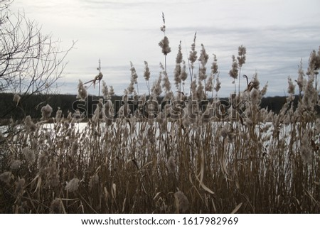 Reed bed and lake forest during winter #1617982969