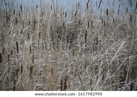 Reed bed and lake forest during winter #1617982990