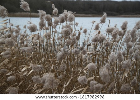 Reed bed and lake forest during winter #1617982996