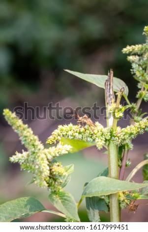 Brown Seed bug (Lygaeidae), Cape Town, South Africa