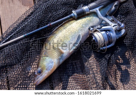 Freshwater zander fish know as sander lucioperca just taken from the water and fishing rod with reel on black fishing net. Fishing concept, good catch - big freshwater zander fish, fishing rod #1618021699