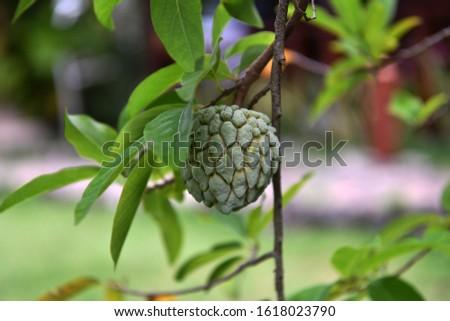 tropical fruits on tropical trees on a tropical island #1618023790