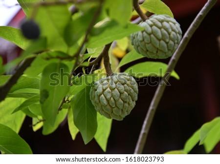 tropical fruits on tropical trees on a tropical island #1618023793