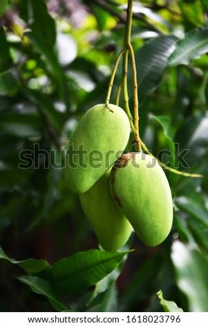 tropical fruits on tropical trees on a tropical island #1618023796