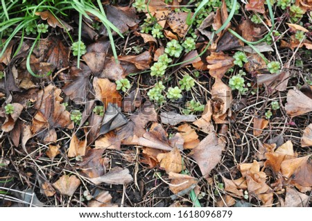 Ginkgo biloba - leaves on the ground-Botanical photography of woody plants   #1618096879