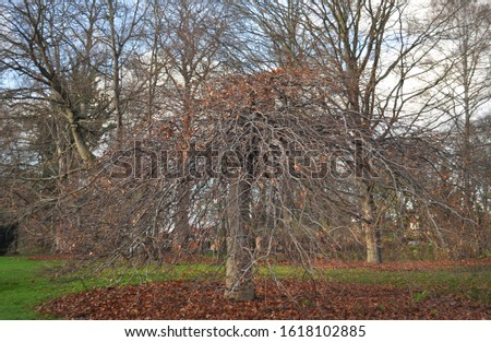 Fagus sylvatica f. pendula - Weeping beech - habiuts -Botanical photography of woody plants  #1618102885