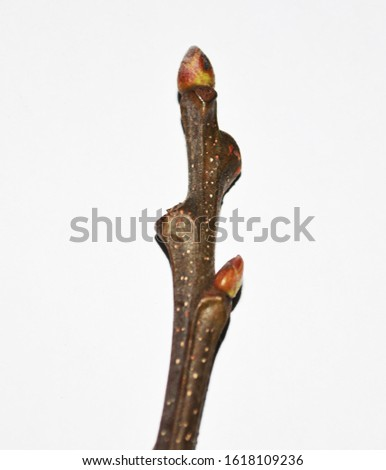 Castanea sativa - sweet chestnut - buds - Botanical photography of woody plants #1618109236