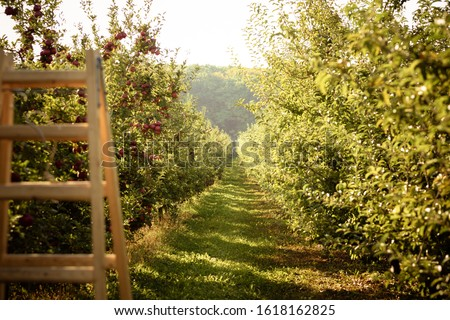 Sunny nature background of green alley with apple-trees with riped red apples on both sides and wooden ladder on the forefront. #1618162825