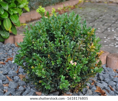 Buxus sempervirens - Bux Tree- habitus-Botanical photography of woody plants #1618176805