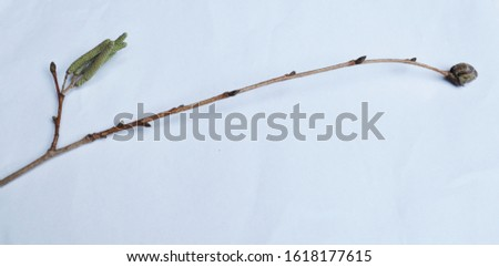 Corylus colurna- Turkish hazel - branch with blossom and bud-Botanical photography of woody plants #1618177615