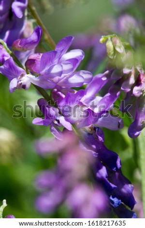 Sweet pea Lathyrus odoratus is a flowering plant in the genus Chin in the family Fabaceae leguminous, native of Sicily, in Cyprus, in the south of Italy and on the islands of the Aegean Sea. #1618217635