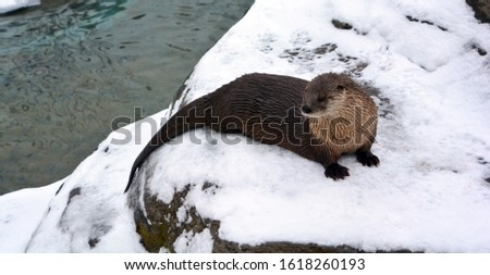 Otters are carnivorous mammals in the subfamily Lutrinae. The 13 extant otter species are all semiaquatic, aquatic or marine, with diets based on fish and invertebrates.  #1618260193