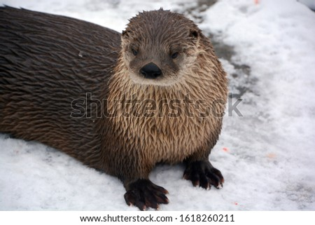 Otters are carnivorous mammals in the subfamily Lutrinae. The 13 extant otter species are all semiaquatic, aquatic or marine, with diets based on fish and invertebrates.  #1618260211