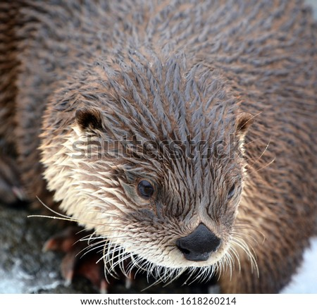 Otters are carnivorous mammals in the subfamily Lutrinae. The 13 extant otter species are all semiaquatic, aquatic or marine, with diets based on fish and invertebrates.  #1618260214