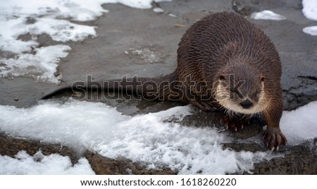 Otters are carnivorous mammals in the subfamily Lutrinae. The 13 extant otter species are all semiaquatic, aquatic or marine, with diets based on fish and invertebrates.  #1618260220