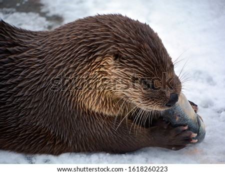 Otters are carnivorous mammals in the subfamily Lutrinae. The 13 extant otter species are all semiaquatic, aquatic or marine, with diets based on fish and invertebrates.  #1618260223