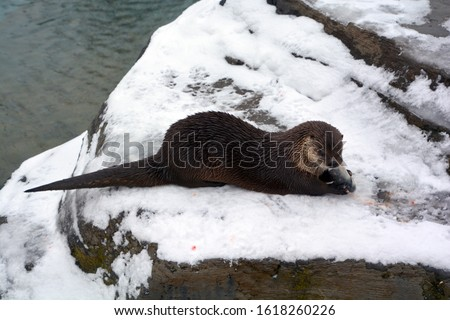 Otters are carnivorous mammals in the subfamily Lutrinae. The 13 extant otter species are all semiaquatic, aquatic or marine, with diets based on fish and invertebrates.  #1618260226