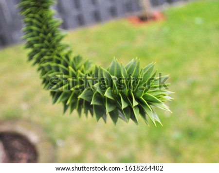 Araucaria araucana - monkey puzzle tree - branch - Botanical photography of woody plants #1618264402