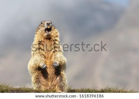 Alpine Marmot (Marmota marmota) Standing Upright, Grossglockner, #1618396186