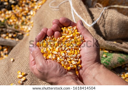 Handful of  Harvested Grain Corn Heart-Shaped Pile. Farmer's rough hands holding corn kernels above a linen sack loaded with freshly harvested grain corn. Close up of peasant's hands with corn grains. #1618414504