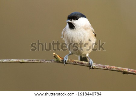 Marsh Tit-The Marsh Tit Poecile palustris is a passerine bird in the tit family Paridae and genus Poecile, closely related to the Willow, Père David's and Songar Tits. #1618440784