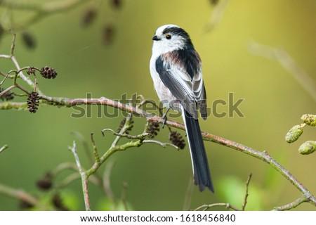 Long-tailed Tit-The Long-tailed Tit or Long-tailed Bushtit (Aegithalos caudatus) is a common bird found throughout Europe and Asia. #1618456840