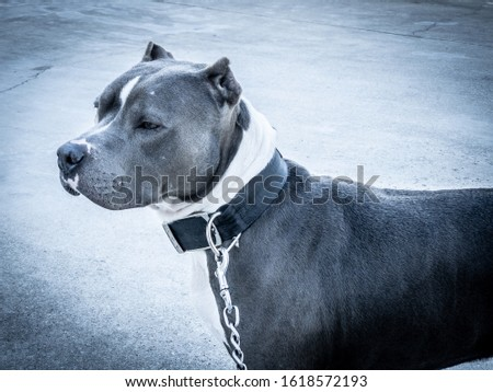 Pitbull terrier standing profile picture