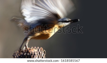 The nuthatch pushed off from the feeder, fluttered its wings and began its flight .... #1618585567