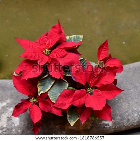 Poinsettias on the edge of a fountain. Water in the picture is green.