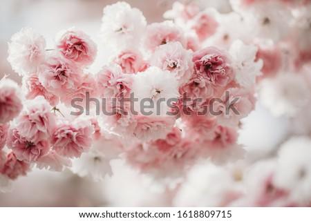 Sakura blossom close up. Beautiful sakura blossom. Tender spring picture. Spring pink flowers. Beautiful pink background.
