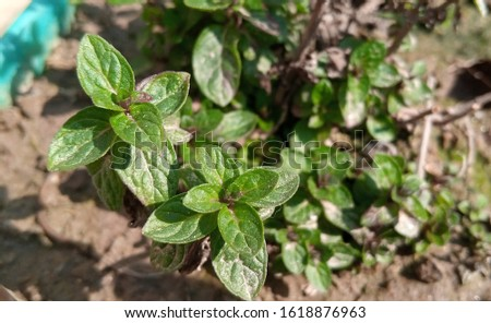 Mint leaves.Mint leaves.Mint leaves background.peppermint.leaves of mint #1618876963