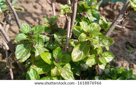 Mint leaves.Mint leaves.Mint leaves background.peppermint.leaves of mint #1618876966