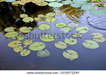 Lotus (Nelumbo nucifera) Leaves in a pond #1618972249